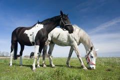 konie w warunkach polowych Fotografia Stock