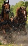 Konie w wodzie Zdjęcia Stock