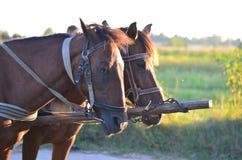 Konie w wsi Obraz Royalty Free