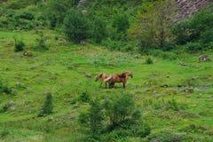 Konie w zielonej łące z niektóre otoczakami obraz stock