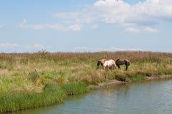 Konie wodą Zdjęcia Stock