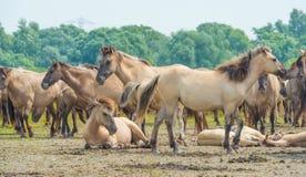 Konie wzdłuż brzeg jezioro Zdjęcia Stock