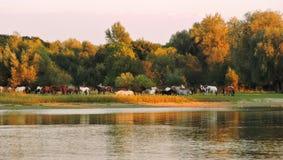 Konie zbliżają rzekę, Lithuania Obraz Stock