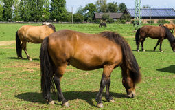 Konie zwierzęta gospodarskie na łące Zdjęcia Royalty Free