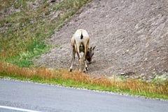 Koniec żeński bighorn cakiel wzdłuż autostrady obraz royalty free
