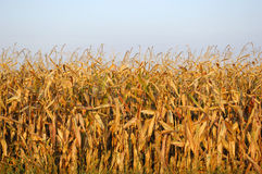 koniec sezonu pola kukurydzy Zdjęcia Stock