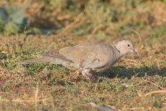 Kołnierzasta gołąbka na ziemi/Streptopelia decaoct Zdjęcie Stock