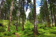 Koniferenbäume in einem Wald in den Bergen Lizenzfreie Stockbilder