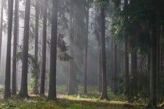 Koniferenbäume gegen Leuchte des nebelhaften Sonnenaufgangs Stockbild