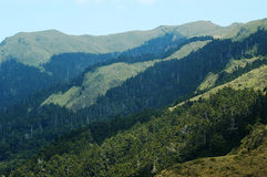 Koniferenbäume mit Berg Stockfotografie