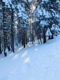 Koniferenbäume in Nationalpark Karkonoski lizenzfreies stockbild