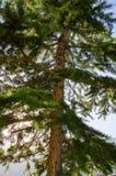Koniferenbaum auf blauem Himmel des Hintergrundes stockbilder