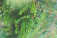 Koniferenbaum Ein junger Zweig einer Tanne lizenzfreie stockfotos