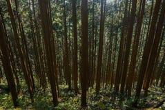 Koniferenbaum im Wald an Mitake-Berg Japan stockbilder