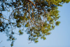 Koniferenbaum und blauer Himmel Lizenzfreies Stockbild