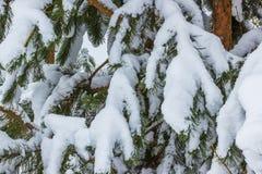 Koniferenkiefernniederlassungen im Schnee Stockfotografie