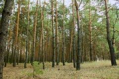 Koniferenwald Stockbild