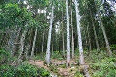 Koniferenwald Lizenzfreie Stockbilder