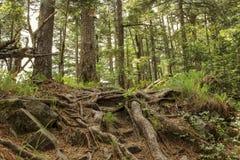 Koniferenwald Stockbilder