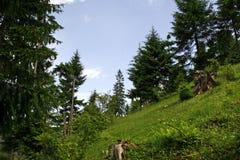 Koniferenwald auf dem Berg stockfotografie