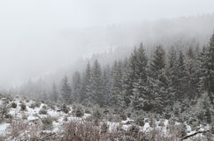 Koniferenwald im dichten Nebel während des Schneesturmes Stockbild