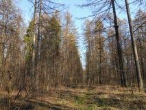 Koniferenwald im Frühjahr Stockfotos