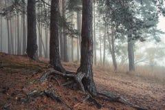 Koniferenwald im Nebel lizenzfreie stockfotografie