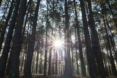 Koniferenwald mit der Sonne, die durch die Bäume scheint Stockbild