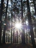 Koniferenwald mit der Sonne, die durch die Bäume scheint (Kiefernwald) Stockfotos