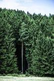 Koniferenwald mit einem mysteriösen Raum Stockfotografie