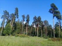 Koniferenwald mit hohen Kiefern stockfoto