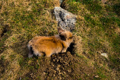 Konijn die een gat graven stock foto