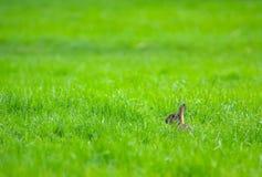 Konijn in het gras royalty-vrije stock foto's