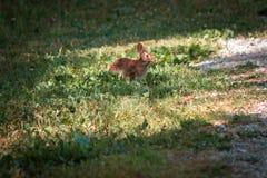 Konijn het weiden op gras in Fort Wayne Indiana royalty-vrije stock foto