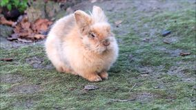 konijn, mooi, dwergkonijntje, buiten, Pasen stock video