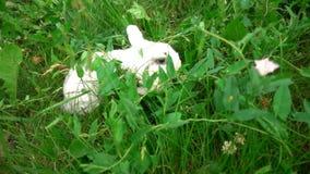 Konijn op groen gras, wit konijn weinig konijn, Weinig wit konijntje, langzame motie stock video