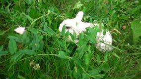 Konijn op groen gras, wit konijn weinig konijn, Weinig wit konijntje, langzame motie stock videobeelden