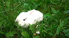 Konijn op groen gras, wit konijn weinig konijn, Weinig wit konijntje, langzame motie stock footage