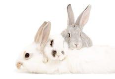 konijnen Stock Foto