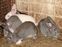 konijnen Stock Afbeeldingen