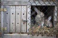 Konijnen in een konijnehok Stock Foto's
