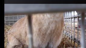 Konijnen op een landbouwbedrijf op een strogrond stock footage