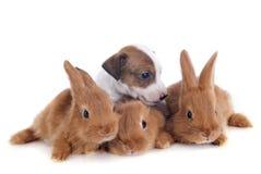 Konijntjes en puppy Stock Foto