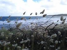 Konijntjesstaarten in Torquay stock foto