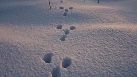 Konijnvoetafdrukken op sneeuw stock video