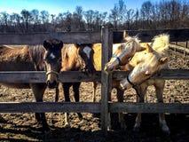 Koników kumpel zdjęcia stock