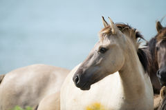Konik foal Stock Photography