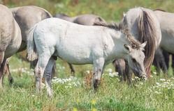 Konik foal with mature wild horses in the background Stock Photo