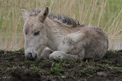 Konik foal resting royalty free stock photos