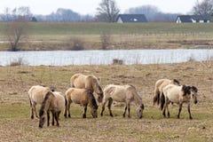 Konik hästar Arkivfoto